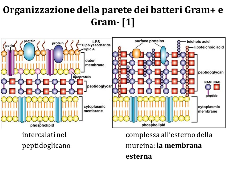 Organizzazione della parete dei batteri Gram+ e Gram- [1]